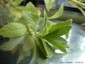 Um das Süßungsmittel zu gewinnen, das sogenannte Steviol aus den Blättern der Pflanze gelöst.